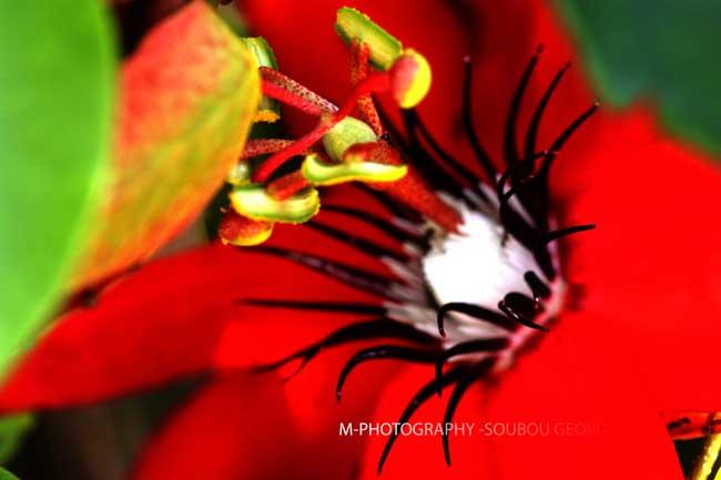 passiflore carlate fleur de la passion rouge passiflore minata. Black Bedroom Furniture Sets. Home Design Ideas