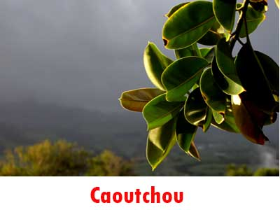 Caoutchouc et bagnan de la r union for Plante caoutchouc